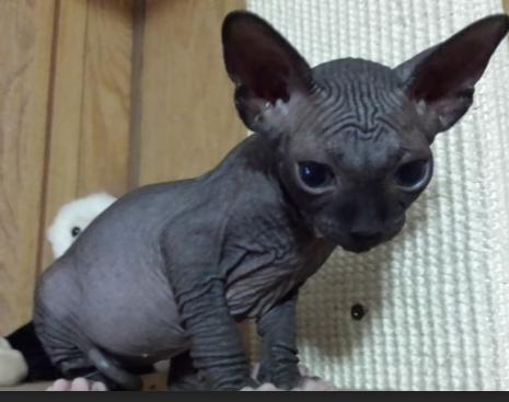Buy bengal cat toronto